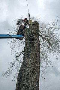 Arborist cutting down a dead tree in Gastonia
